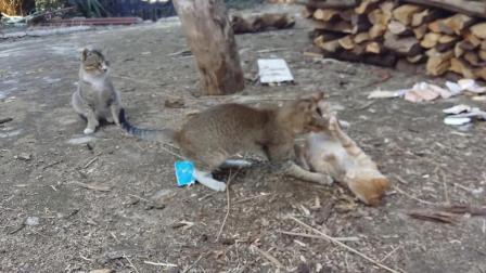 #冬日吸猫#【猫咪趣事】我家的猫咪也爱拍照 小猫咪大战大猫 轻松时刻 萌宠日常动物搞笑