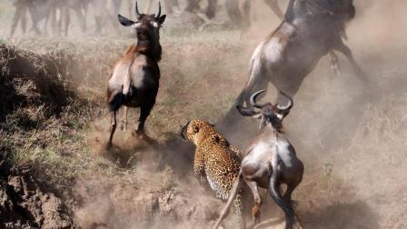 猎豹已经咬住了角马, 没想到捕猎还是失败了, 镜头拍下尴尬的一幕