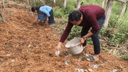 农村小伙和妈妈种地瓜过程, 你喜欢吃的地瓜原来是这样种出来的