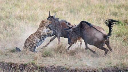 豹子已经咬住角马的脖子, 不料捕猎却失败了, 视频记录下尴尬的一幕