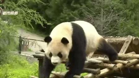 云南野生動物園: 大熊貓廚房開餐啦!