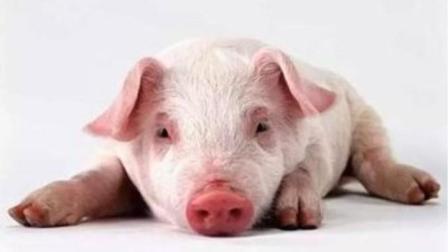 养猪的注意了 了解非洲猪瘟发病前兆与防治方法 避免损失惨重