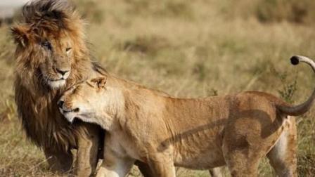 老狮王面对三只雄狮落荒而逃 虽保住了性命 但其他狮子危险了