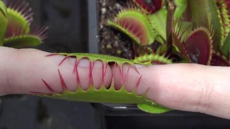 把手指放入捕蝇草中一天会怎样 小伙作死实验 结果后悔