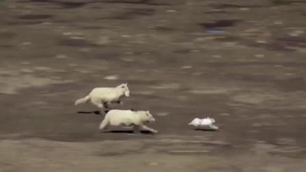 两只野狼追兔子, 最接近的一次也只啃到兔毛, 网