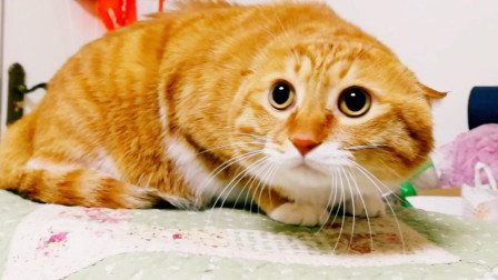 萌宠: 小黄猫, 你到底看见了什么? 耳朵都吓没了, 太可爱了!