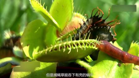 捕蝇草真的有效吗