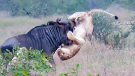 两只狮子咬住角马,没想到角马突然爆发,最后成功逃生!