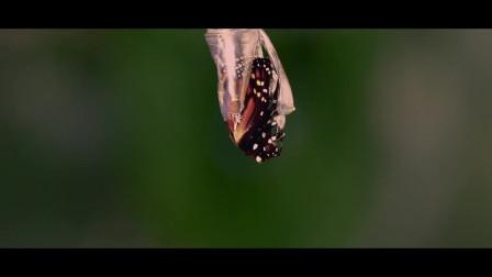 《蝴蝶树》,唯美的背景下,父亲和儿子同时遇见了她,却不得不接受命运的安排