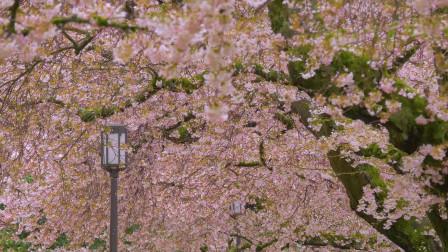 贴近大自然第八期,美丽的粉色花朵沐浴在雨中