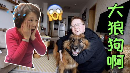 我中国岳母吓死了,我领养了一条15岁的德国大型牧羊犬!