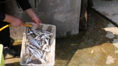 今天和表哥去河边撒网,一下网了好几斤白条鱼,怎么做好吃呢?