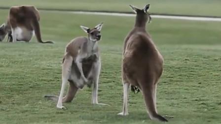 搞笑动物合集:愤怒的袋鼠,冲着玩偶发脾气