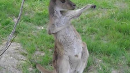 搞笑动物合集:原来凶悍的袋鼠也会挠痒痒!