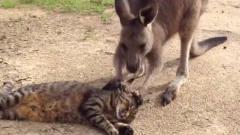 搞笑动物合集:袋鼠第一次玩蹦蹦床,刚一上去