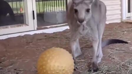 搞笑动物合集:偷吃卫生纸的袋鼠!