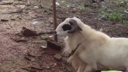 搞笑动物合集:躺在地上的大叔也要顶,这羊怕