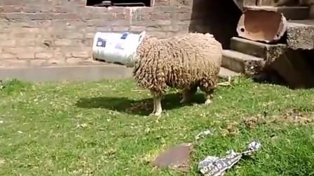 搞笑动物合集:小伙子,你这样对付羊真的好吗