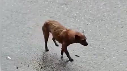 听说这个中华田园犬会跳舞,昨晚去酒吧还没缓
