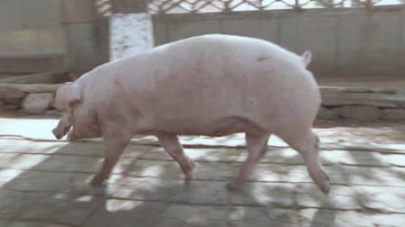 十一级台阶:美女士兵第一次杀猪,一刀下去猪