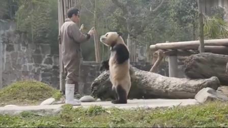 """熊猫""""蔓越煤""""站起来跟奶爸要竹笋,熊猫:哼"""