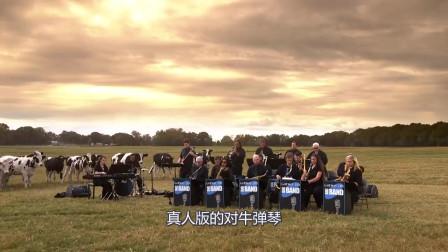 """国外版""""对牛弹琴"""",为奶牛举办音乐会,一群"""