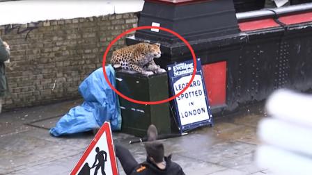 """国外街头惊现非洲豹?路人吓出""""机械舞步"""","""