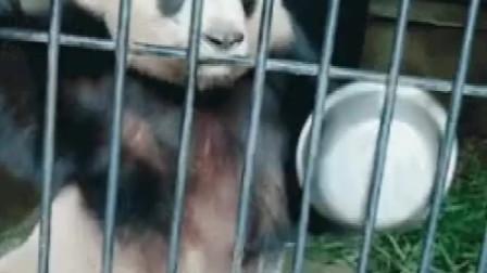搞笑视频:熊猫:走过路过给点吃的