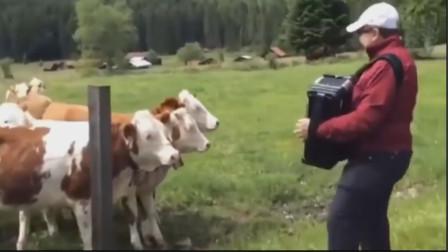 谁说对牛弹琴一定是个贬义词,看视频中这些超