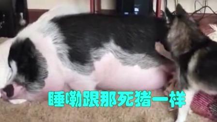 """搞笑动物-狗叫猪起床""""你是猪么"""""""
