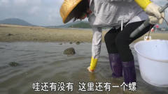 妹子赶海轻松时刻,海螺不用挖直接手抓一大把