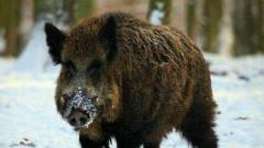 动物猎奇猎狗围攻动物界,这下野猪是没有活路