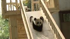 熊猫宝宝排队玩滑滑梯,滑下来再自己爬上去,
