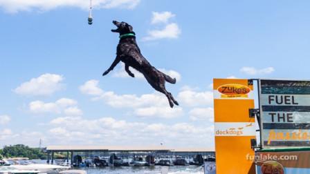 能上跑酷的狗狗,简称酷狗,飞檐走壁都不在话
