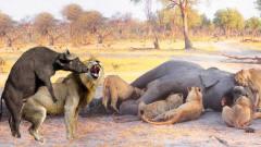 疯狂的水牛从狮群口中救下小象,狮子被打得落