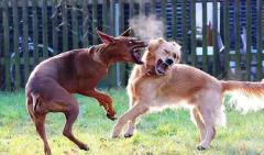 街拍两条狗激烈打架,就在不可开交之时,两条狗的做法令人惊讶