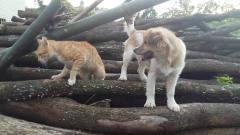【 萌宠日常 】01 超萌可爱小猫咪与小狗玩耍 猫