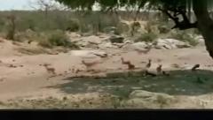 动物猎奇:狮子捕捉羚羊狒狒出声警告,狮子追
