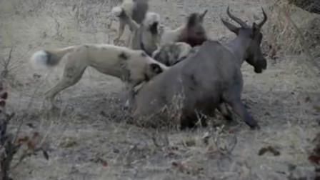 非洲野狗围攻并活吃了一头不知道什么品种的鹿, 镜头拍下全过程