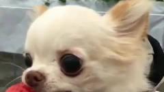 望着日落看八卦:可爱小狗狗的搞笑视频,你知