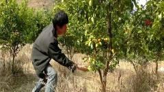 广西老表搞笑视频:许华升偷老表橘子,被老表