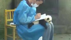熊猫宝宝被当桌垫,反抗无效后一脸无奈,镜头