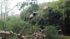 调皮的熊猫宝宝追到树上,下一秒搞笑的事发生