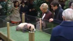 熊猫的脾气有多大,它连法国第一夫人都敢吓,