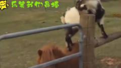 动物搞笑:栅栏这么高,看我来帮你过去