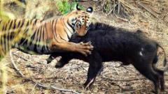 猎奇自然界顶级捕食者老虎猎捕疣猪