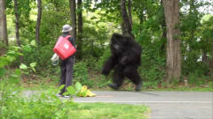 公园人行道上冲出一只猩猩,路人们吓得落荒而