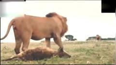 猎奇 鬣狗被雄狮折磨至死!