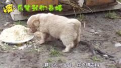 搞笑四川话动物配音:狗狗护食,模样萌翻众人