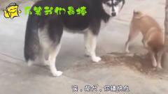 搞笑四川话动物配音:二哈与土狗的区别